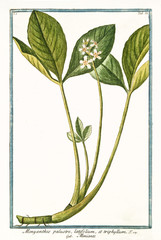 Old botanical illustration of Menyanthes palustre (Menyanthes trifoliata). By G. Bonelli on Hortus Romanus, publ. N. Martelli, Rome, 1772 – 93