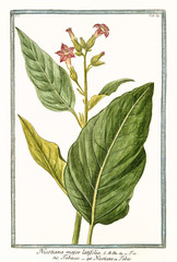 Old botanical illustration of Nicotiana major (Nicotiana tabacum). By G. Bonelli on Hortus Romanus, publ. N. Martelli, Rome, 1772 – 93