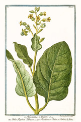 Old botanical illustration of Nicotiana minor (Nicotiana rustica). By G. Bonelli on Hortus Romanus, publ. N. Martelli, Rome, 1772 – 93