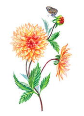 Orange dahlia and butterfly drawing in watercolor on a white background, isolated with clipping path.