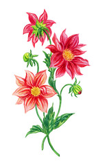 Red dahlias, watercolor drawing on white background, isolated with clipping path.