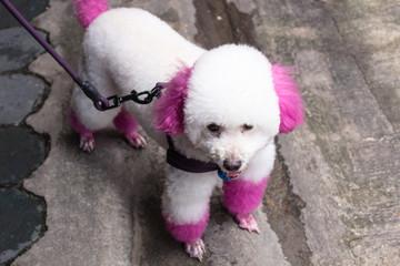 Poodle : ピンクプードル・ペット