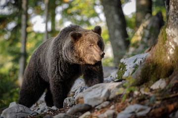 Adult brown bear (ursus arctos arctos)