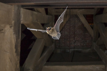 Flying pipistrelle bat in church tower