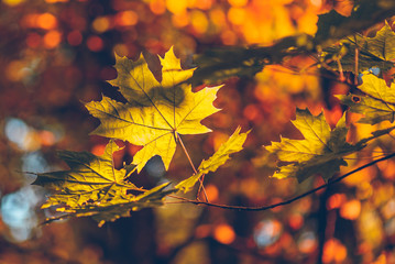 Yellow maple foliage on a forest background