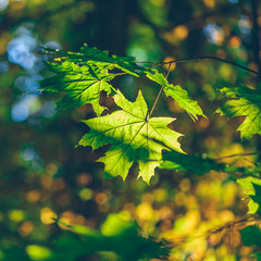 Green maple foliage on a forest background