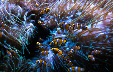 tiny anemone - nemo fish in aquarium