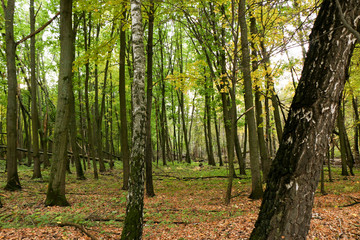 Wild Natural Forest of Old Beech Trees in Autumn