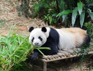 カメラ目線のジャイアントパンダ
