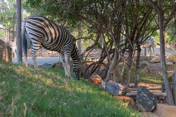 Zebra eating grass. Lubango. Angola.