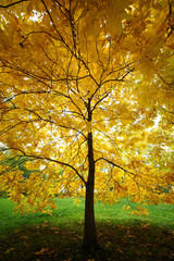 autumn tree / crown of a yellow tree covering the whole frame