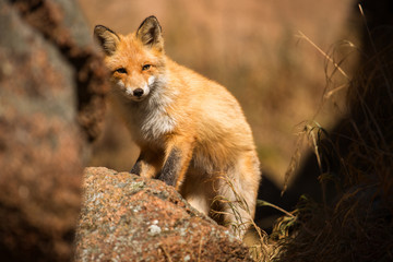 young red Fox in the wild