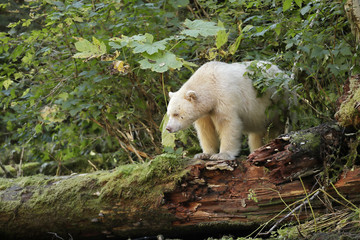 Spirit bear standing on a log watching the river for fish in Great Bear Rain forest British Columbia Canada
