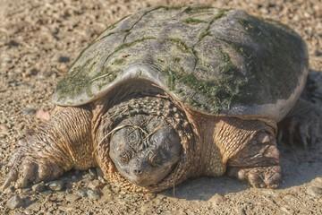 Fargo Road Turtle