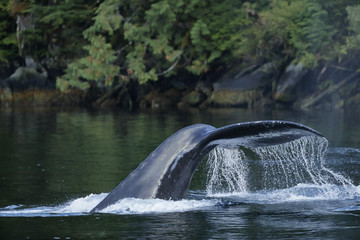 Humpback whale fluke with water dripping off in green reflection British Columbia Canada