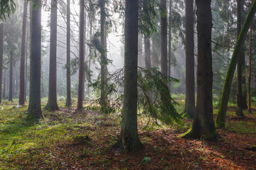 Wall Mural - Coniferous trees against light of misty sunrise