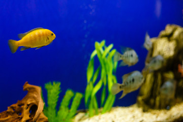 Yellow fish on coral reef fish keeping blue water background