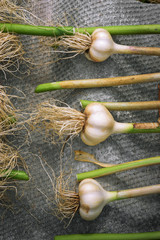 heads of garlic on a gray background