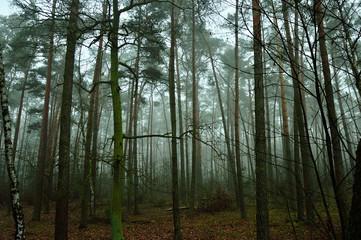 Zamglony jesienny las w ponury poranek.