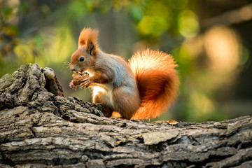 Poster Eekhoorn Squirrel animal in natural environment