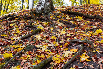the roots of a tree in a forest in autumn.