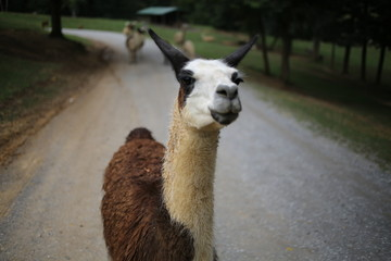 Brown and White Llama on a Gravel Road