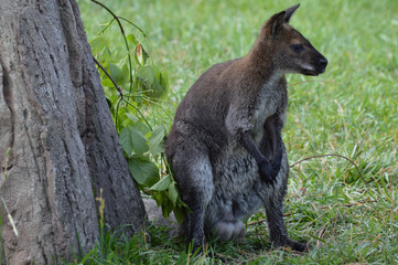 Wallaby in the outdoors