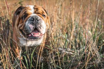 Portrait of English bulldog in the orange grass,selective focus