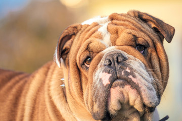 Cute English bulldog posing outdoor,selective focus