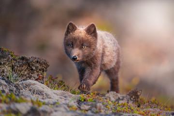 Arctic Fox in Iceland walking on moss