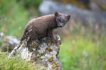 Wet Arctic Fox standing on a rock