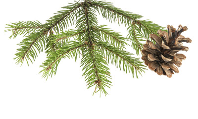 branch of a Christmas tree and a cone isolated on a white background