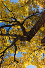 Fall American Elm Tree with golden leaves and a blue sky behind. Its trunk with thick bark is shown in the upper right corner.