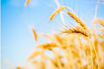 Picture of wheat crop on blurred background