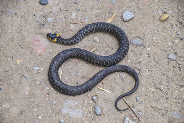 Grass snake, crawling along the ground. Non-poisonous snake. Frightened by the Grass snake
