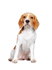 Full length picture of a sitting beagle puppy isolated on white