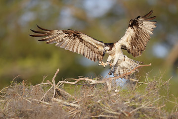 Osprey landing on a nest at lake blue cypress in florida