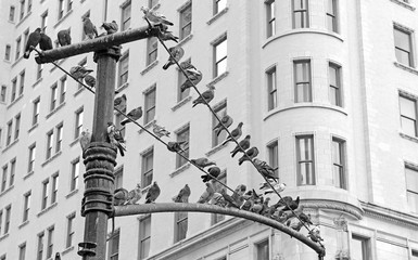 Pigeons on street light in Manhattan with building background, New York City