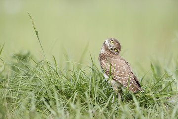 Burrowing owl on green grass Wall mural