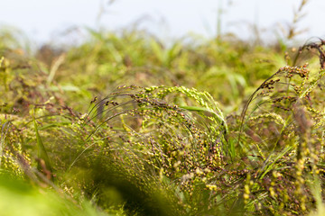 agricultural field with green millet