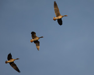 Greater White-fronted Geese flying together, seen in North California