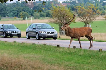 Wild Red deer stag crossing the road