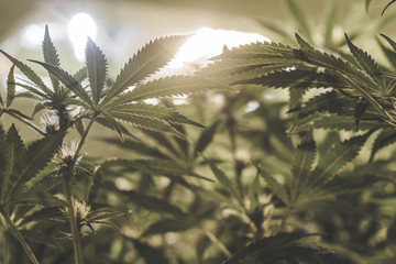 Young indoor medical marijuana plant leaves under artificial light