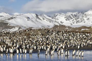 King penguins entering the sea at South Georgia Island Antarctica
