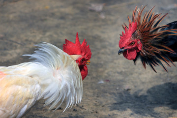 Two cocks are ready to fight. Fighting Chicken.
