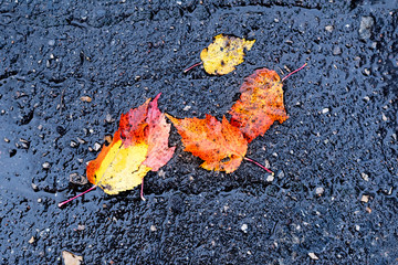 Nice autumn leaves on wet asphalt, bright natural colours of fallen maple leafage. Beautiful pattern with random scattered green, orange, yellow and red sheets