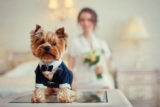Terrier dressed as a groom in the bedroom of the bride. Bride with bouquet and white gown