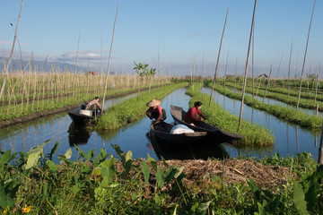 Intha people working on their floating garden in Inle lake Myanmar on 18 decenber 2016