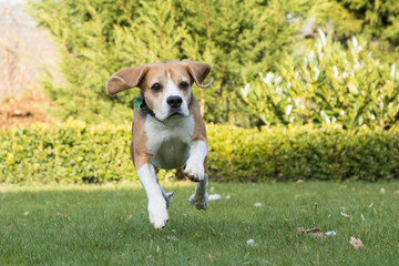 beagle jumping outdoor