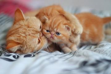 cat,red, kitten, l